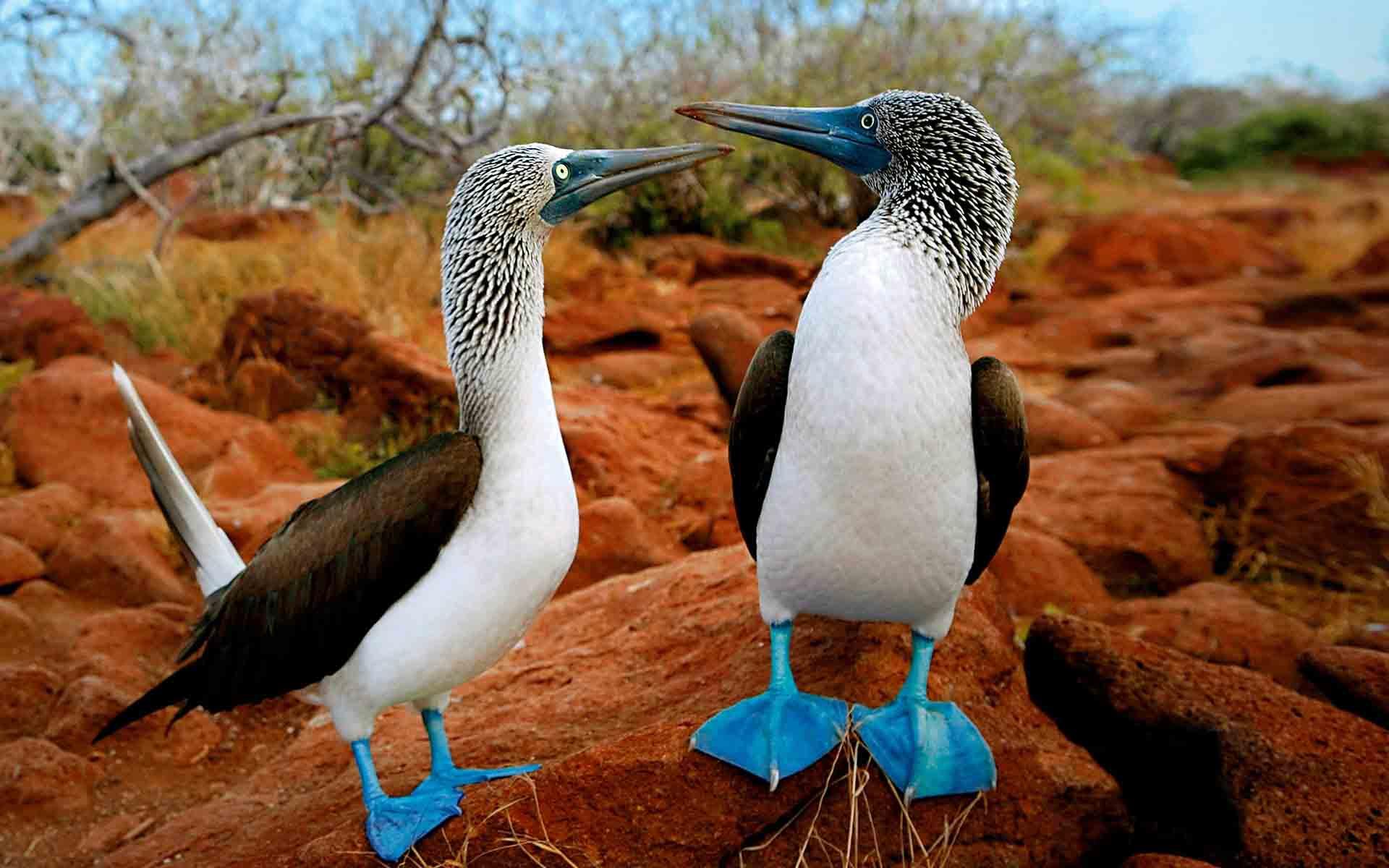 Blue-footed Booby bird on Galapagos Islands