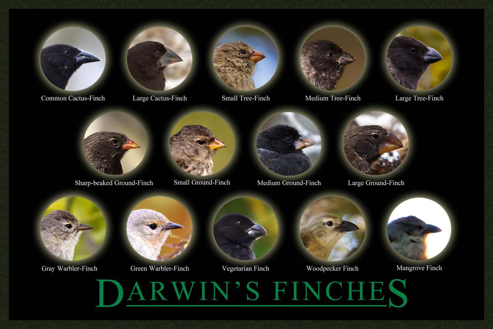 Darwin's Finches Galapagos