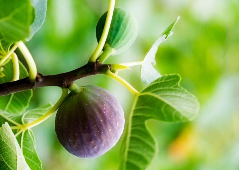 Fig greenTree