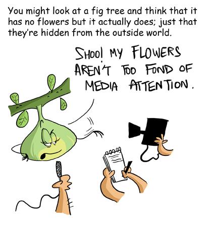 Fig tree flowers