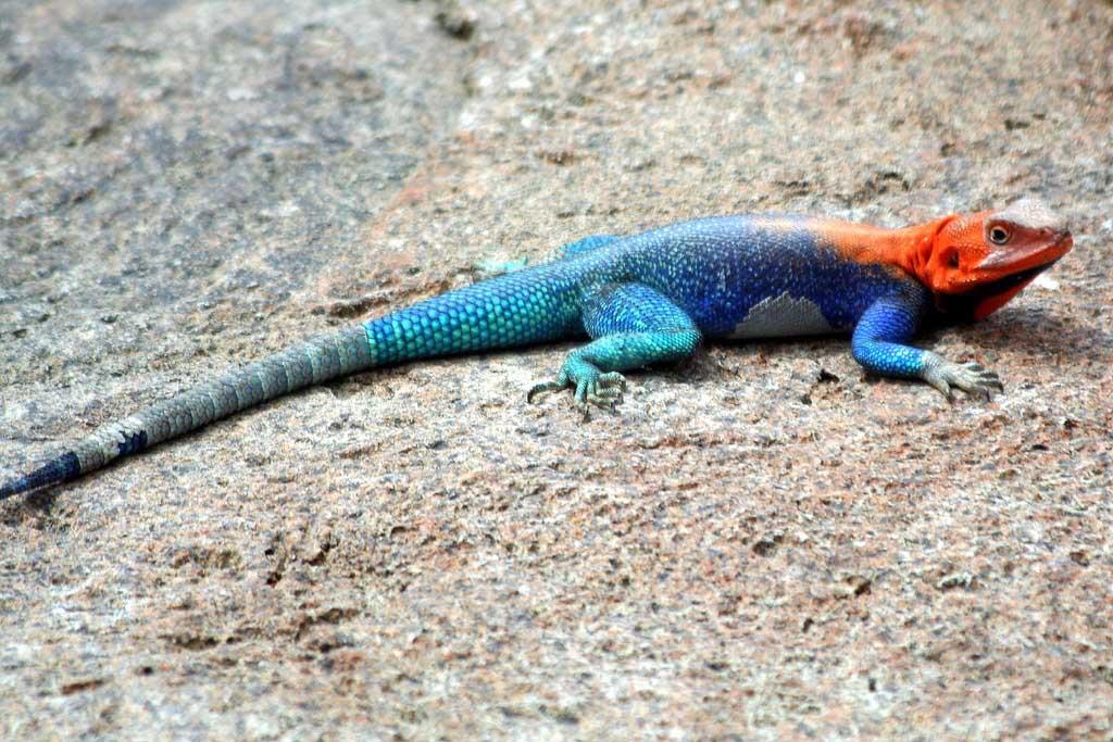 Galapagos Flat Bellied Lizard