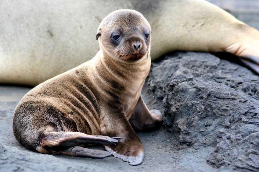 Sea Lion Puppy