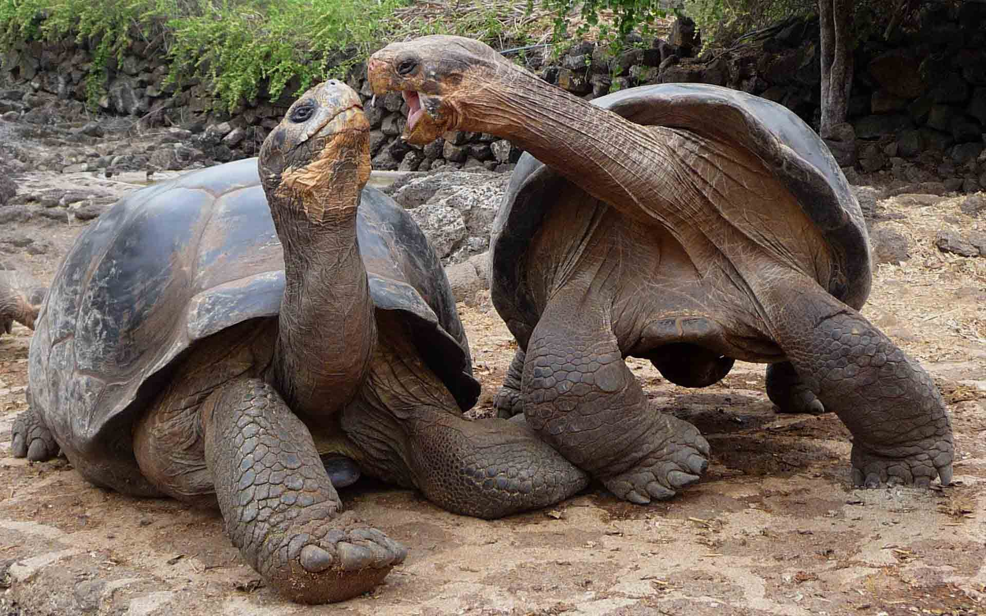 Which Tortoises Have the Longest Lifespan and Which Have ... |Galapagos Tortoise