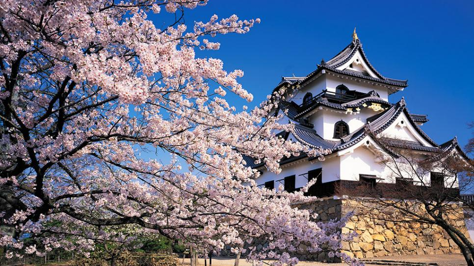 Hikone-Castle in Japan cherry blossom