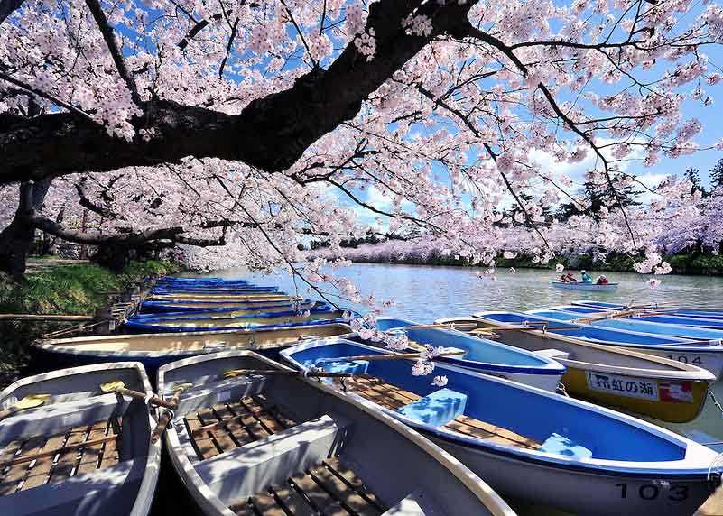Wonderful Cherry Blossoms in Japan