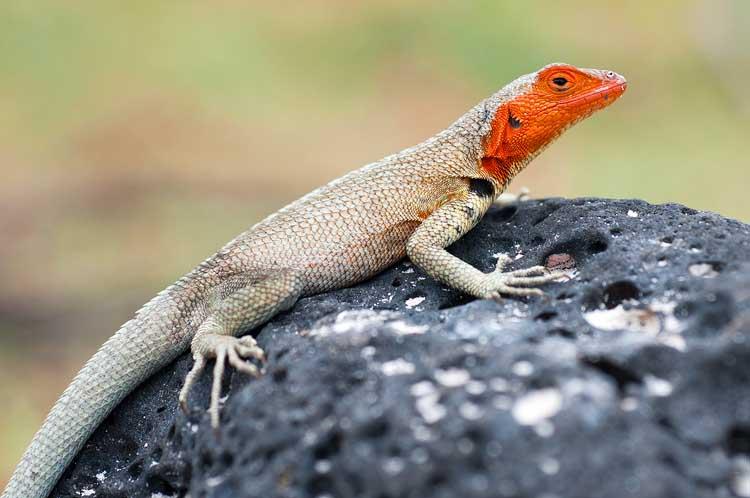 Microlophus (Lava Lizard)