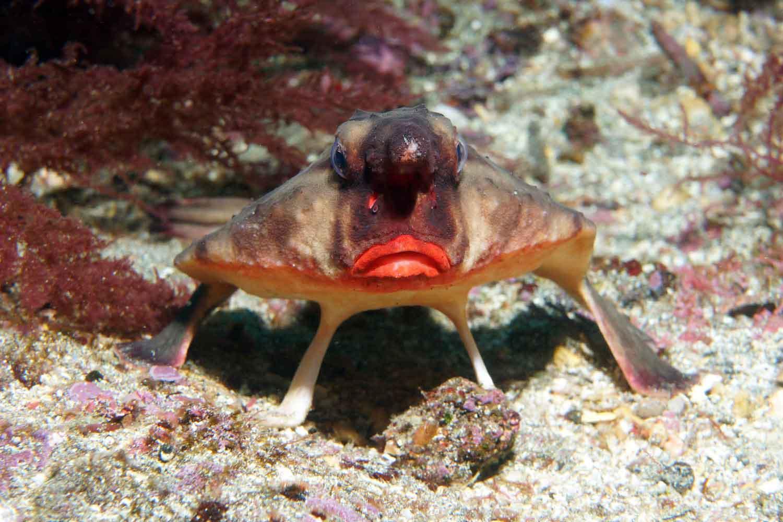 Red-lipped batfish