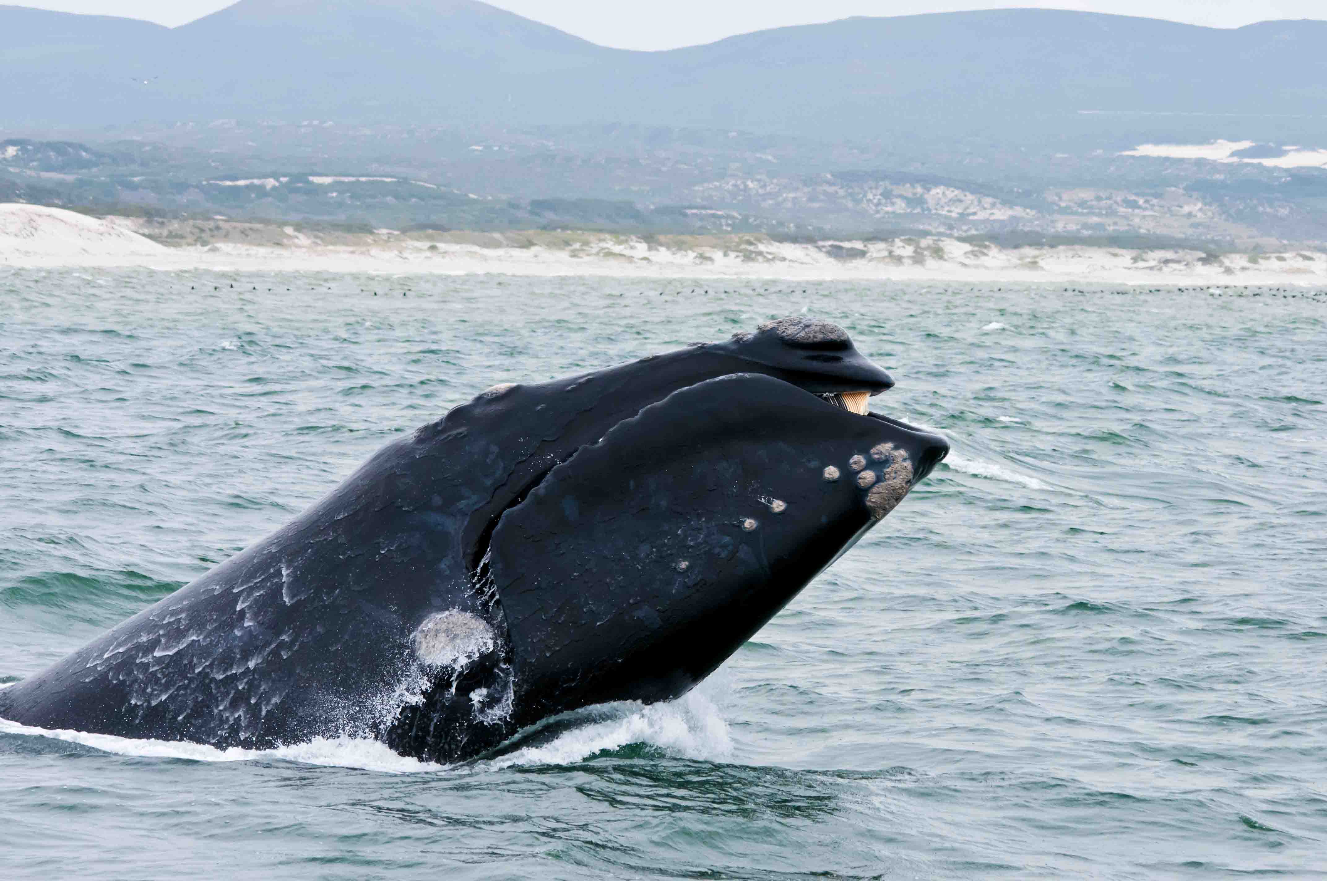 Southern Right Whale in Hermanus showing from water
