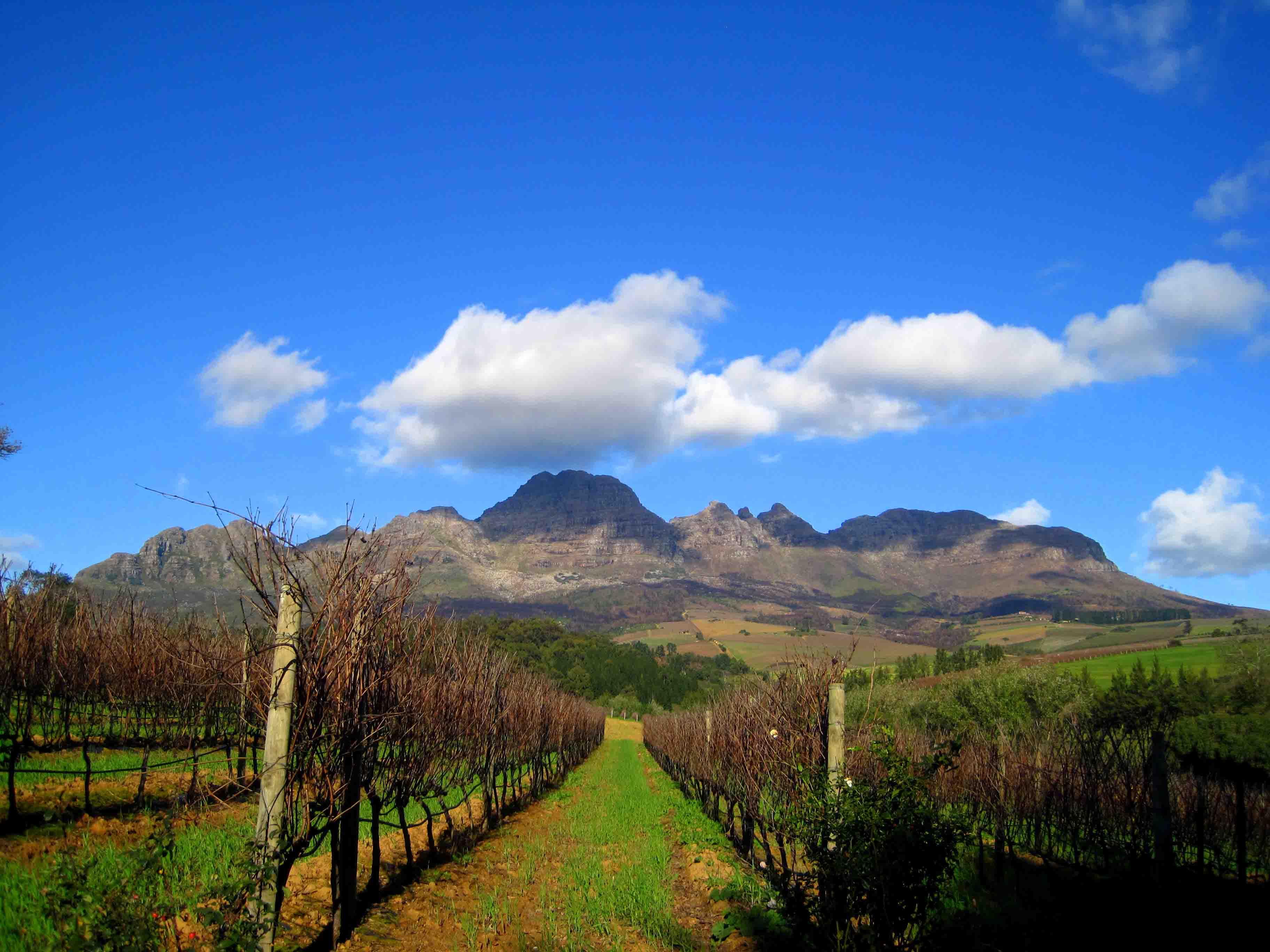 Stellenbosch, South Africa vineyard