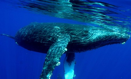 Whale diving underwater in Maui, Hawaii