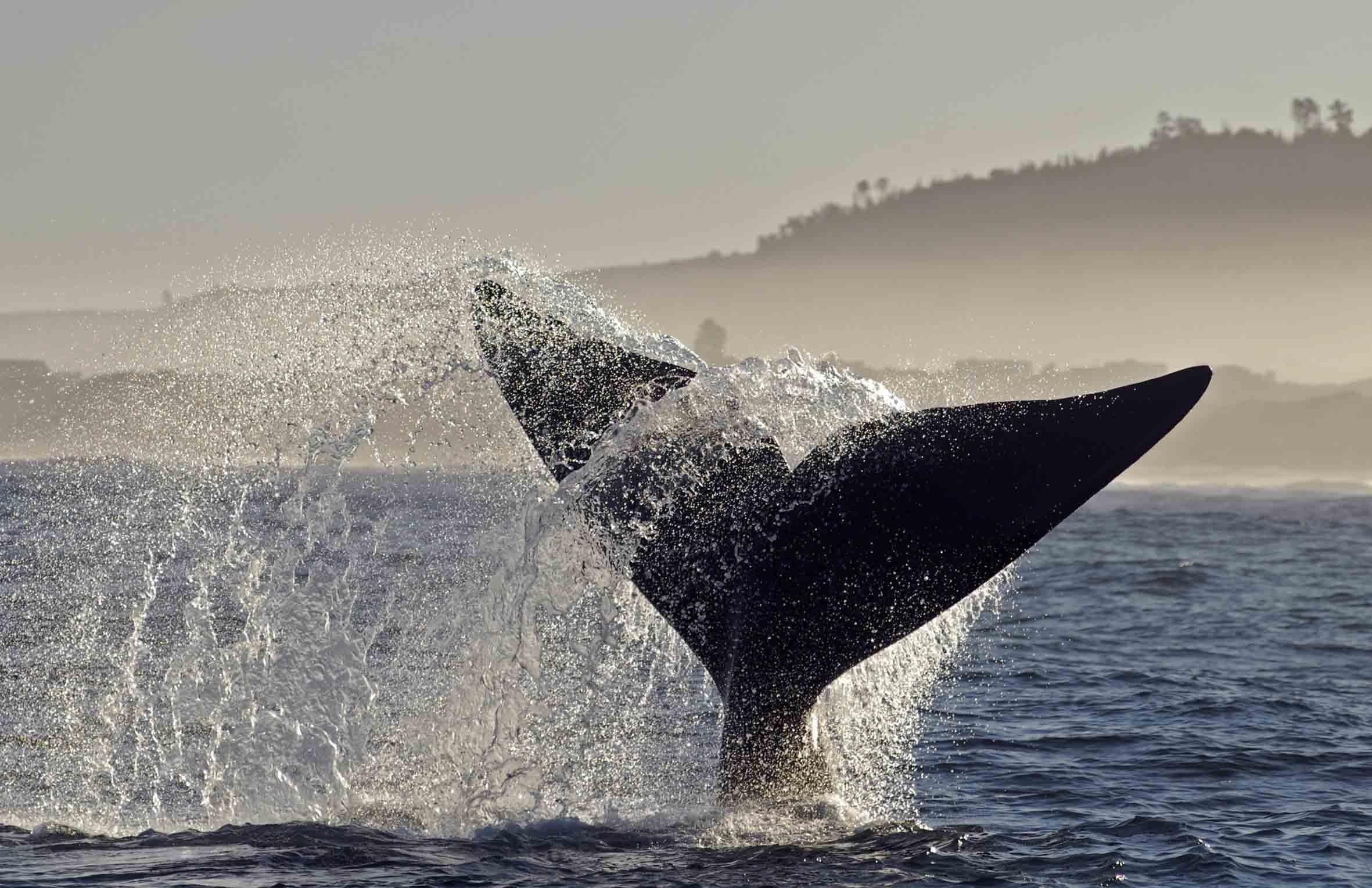 Whale tale in Hermanus, Western Cape