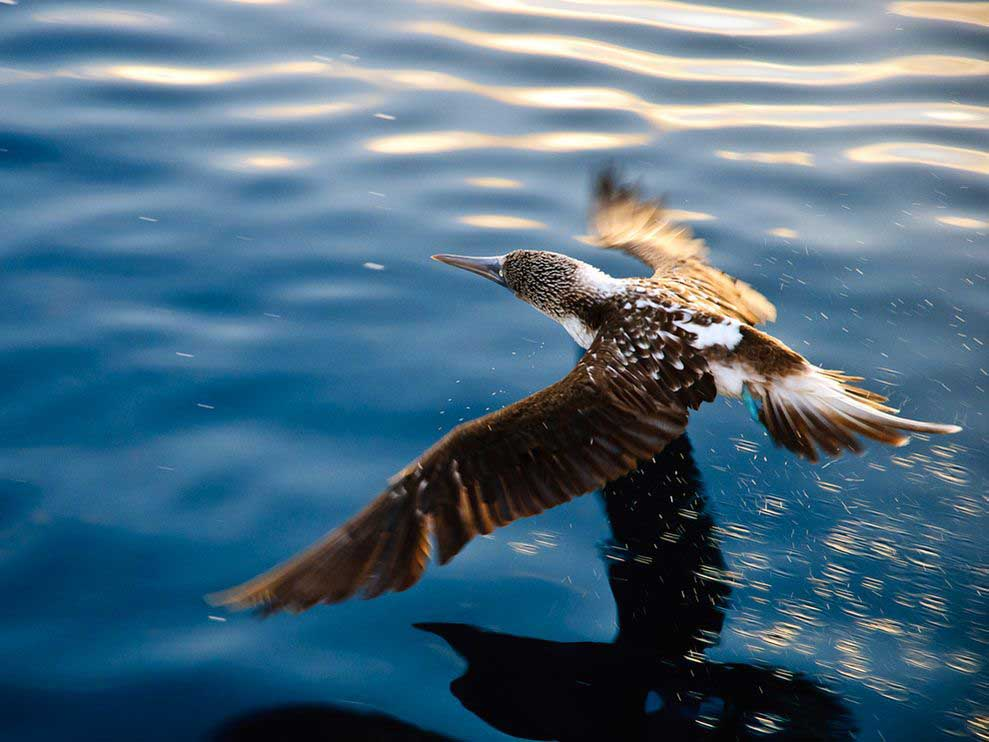 blue-footed-booby flying