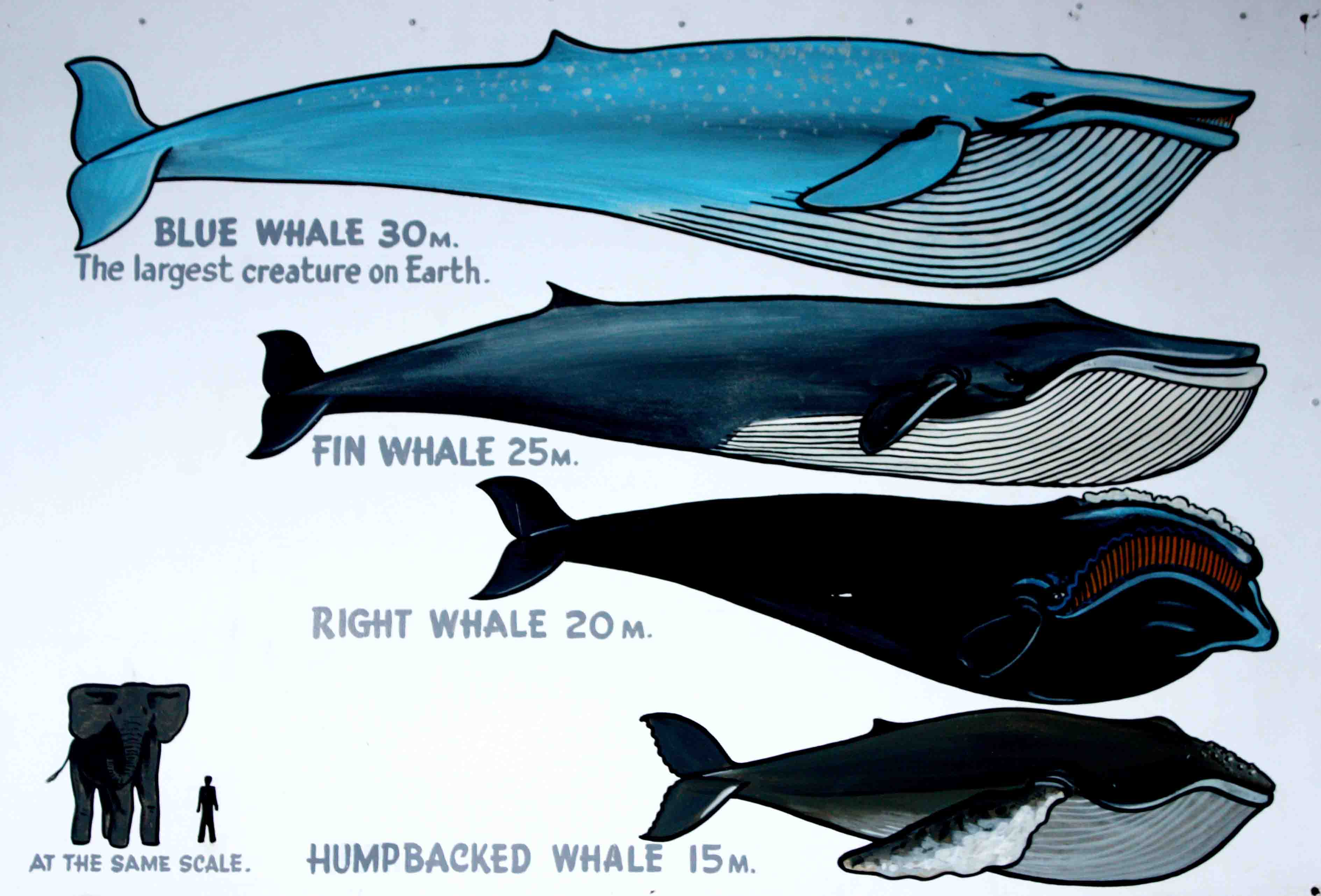 different kinds of whales chart