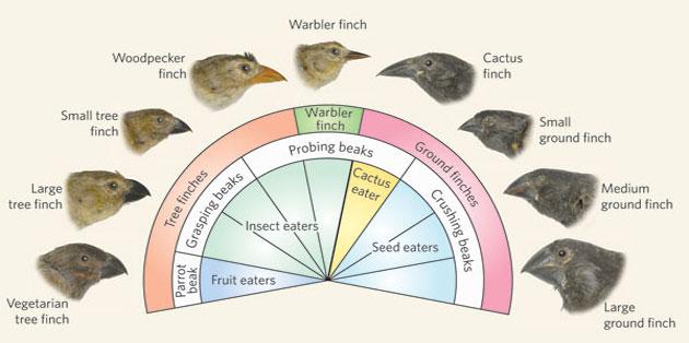 galapagos-darwin-finches