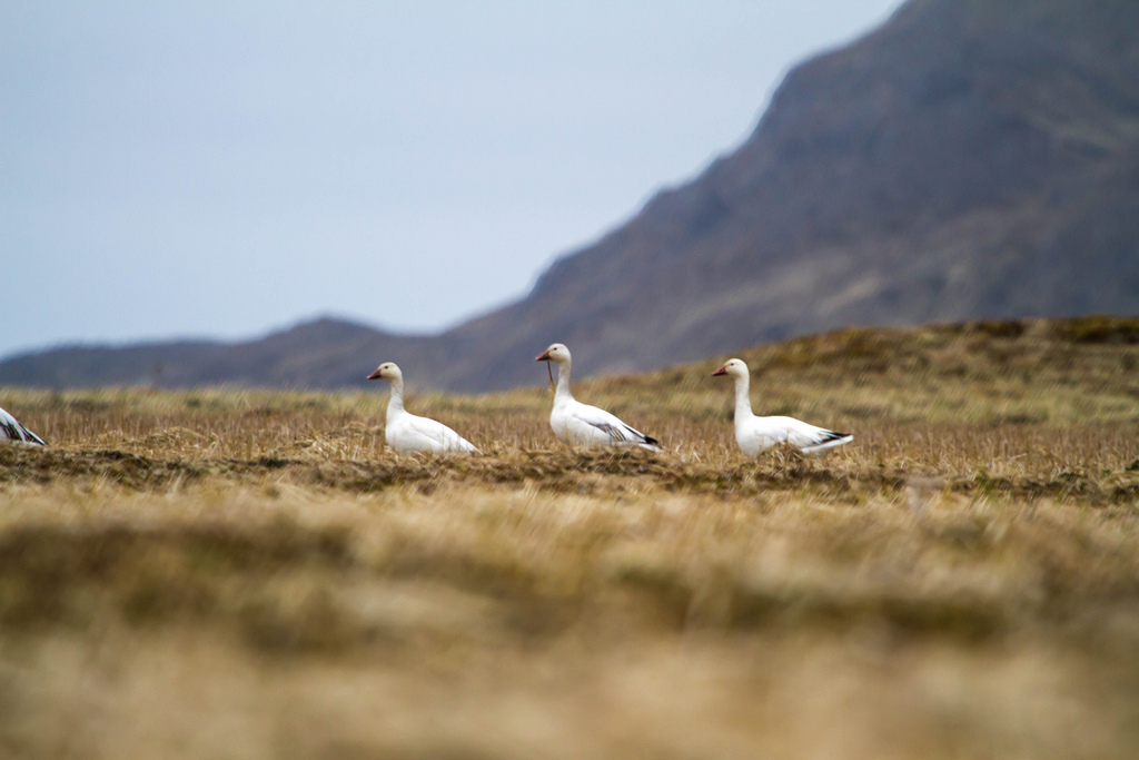 gobble geese on Hawadax island Rat Islands