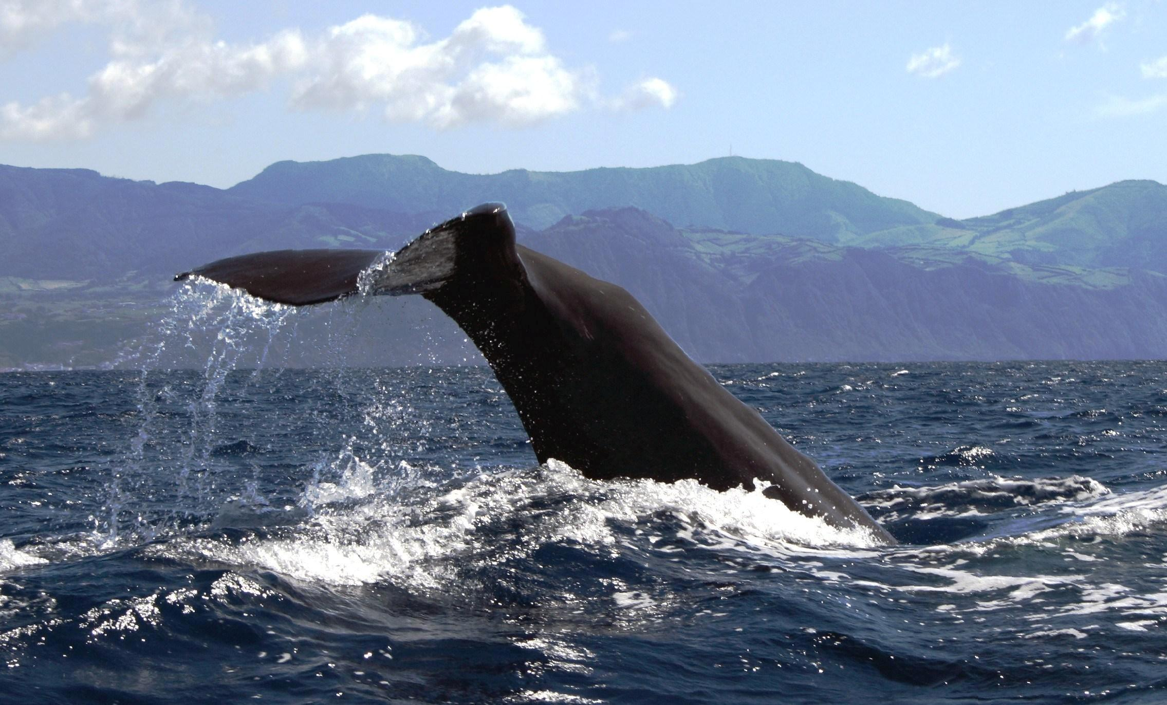 sperm whale tale in Azores islands, Portugal