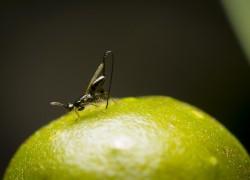 wasp on fig fruit