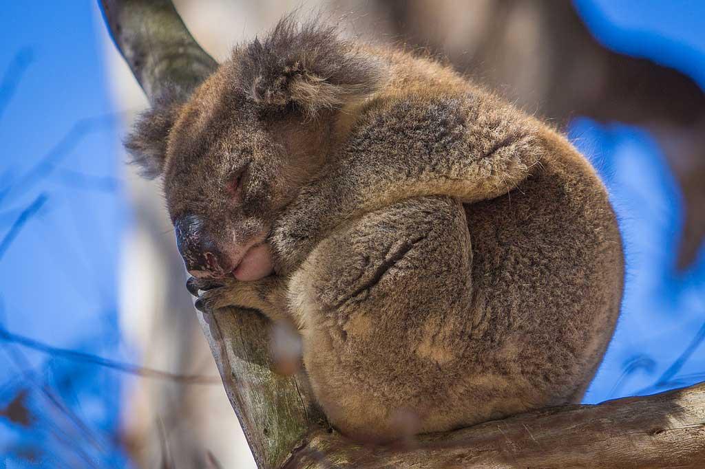 Kangaroo-Island-wildlife-koala