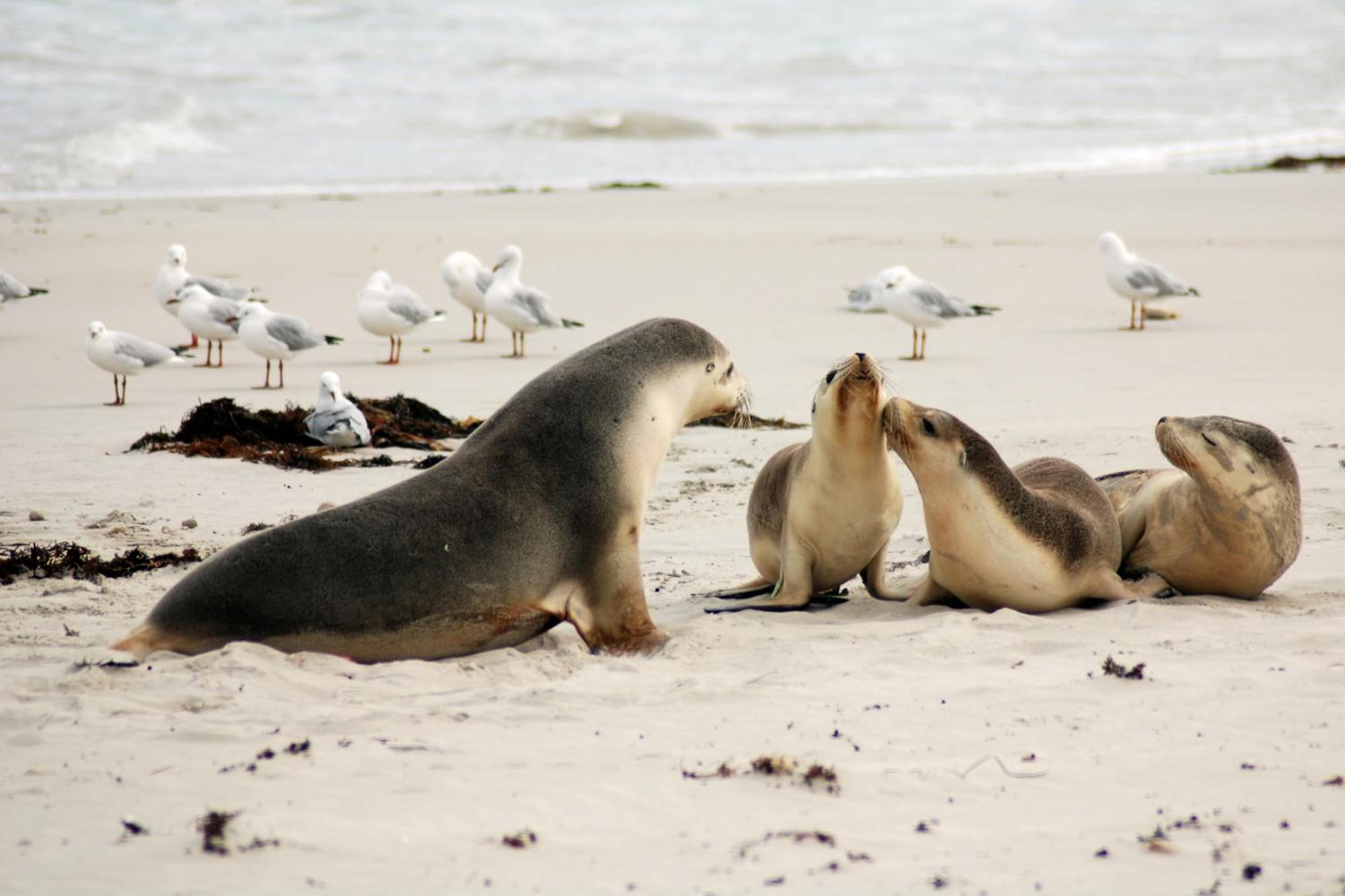 the kangaroo island animals seals with their littles and birds