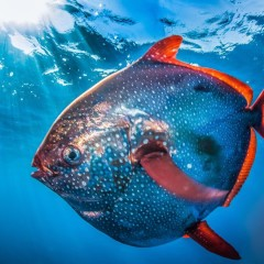 The Only Warm-Blooded Fish – Moonfish