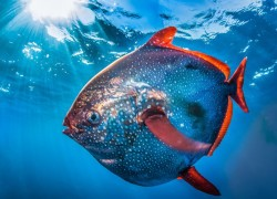 Moonfish swimming in blue ocean waters