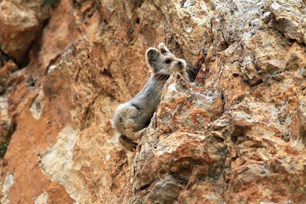 Ochotona iliensis the magic rabbit in China 3