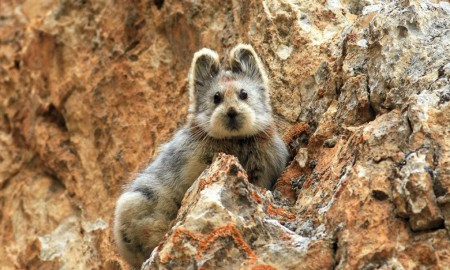 Ochotona iliensis the magic rabbit in China