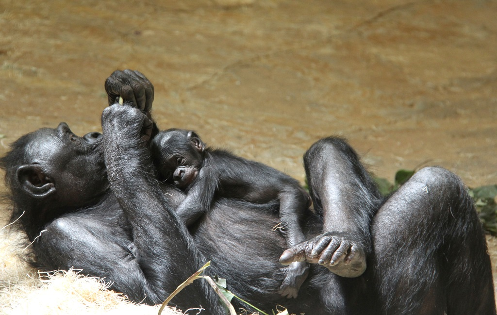 baby bonobo on his sleeping on his mother