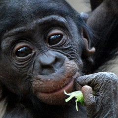 What If Bonobo Apes Extinct?