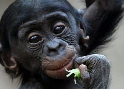 bonobo small ape with big eyes eating