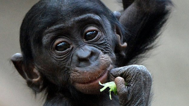 bonobo small ape with big eyes eating