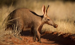 Aardvark - 35 million years ago