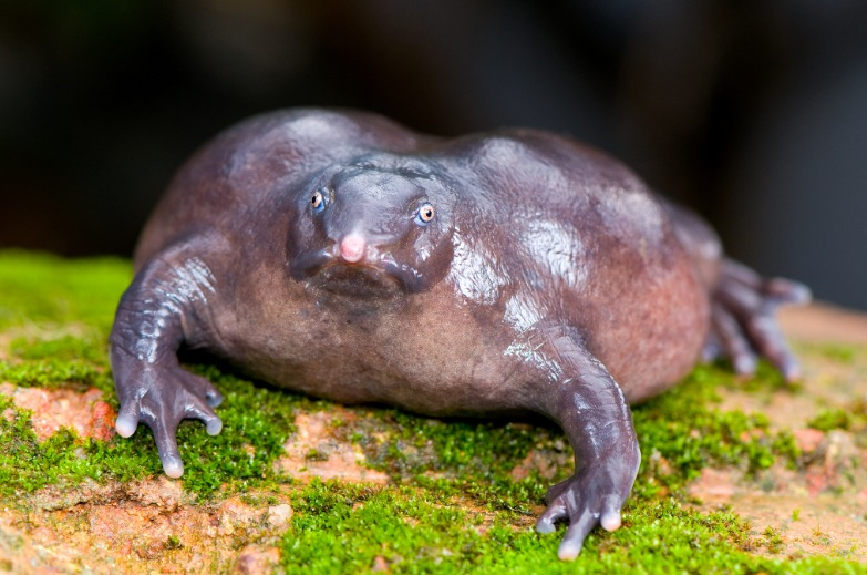 Indian purple frog - 135 million years ago