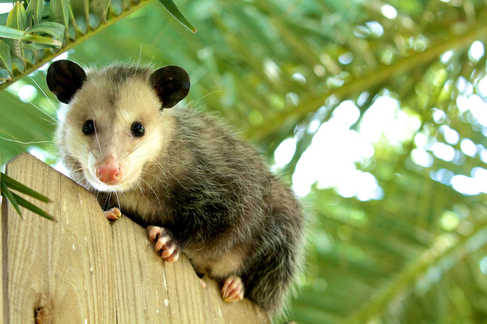 Virginia-opossum 70-million-years-ago Surprisingly Ancient Species vol.1