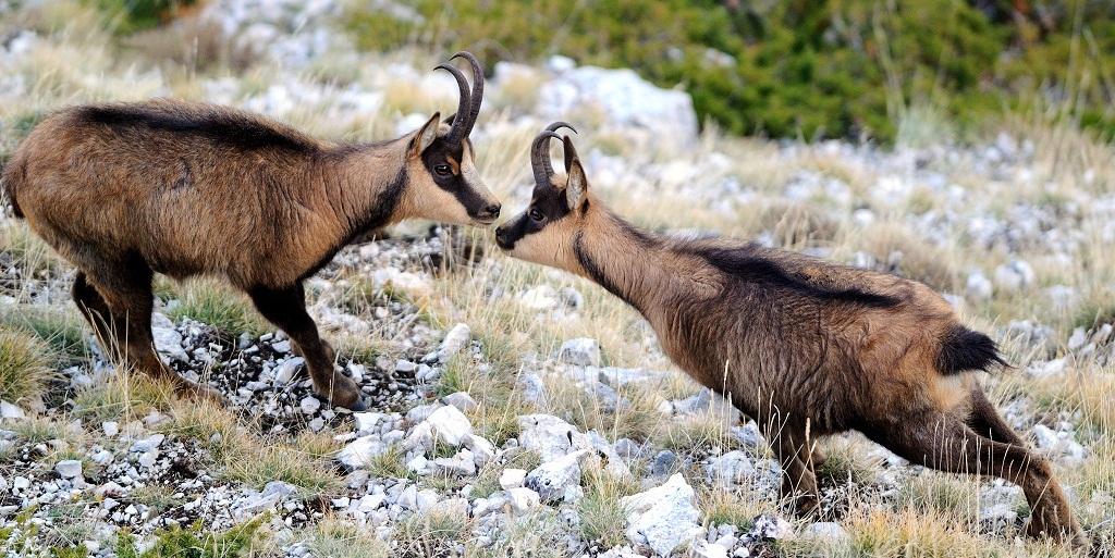 wild Antelope оf park Abruzzo