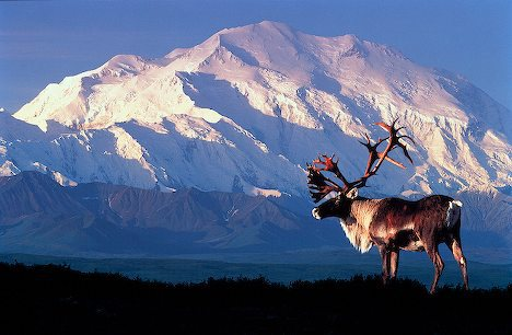 Alaska . Mt . McKinley (20,320) towering in background with Caribou (Rangifer tarandus) in Denali National Park . Composite .