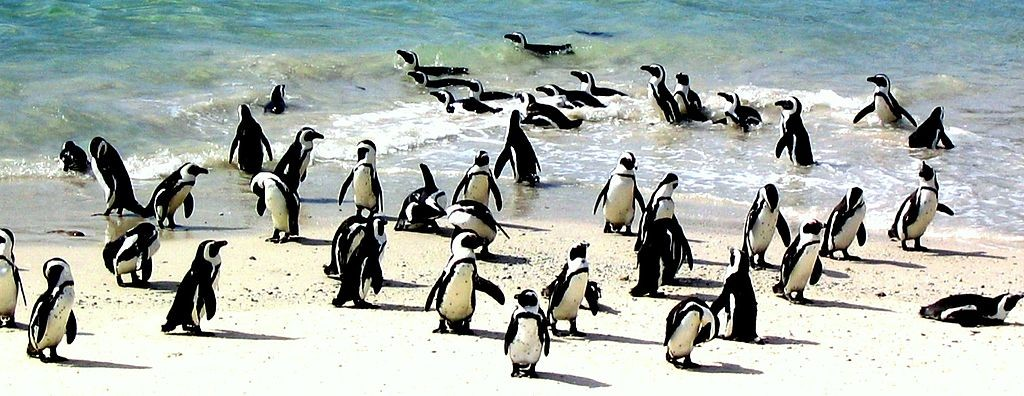 african-penguin-at_boulders_beach_south_africa