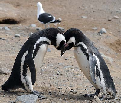 chile-penguin-snuggling-magdalena-island