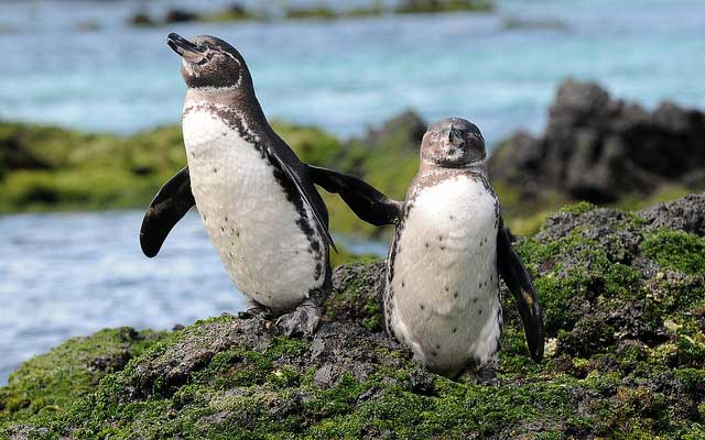 galapagos-penguins-nature-world-penguin-population