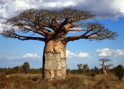 madagascar-island-nature-baobab-tree