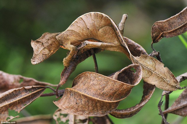 madagascar-weird-animals-flat-tailed-geckos