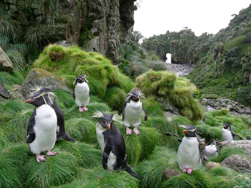 penguins-on-gough-island