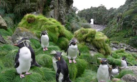 penguins-on-gough-island