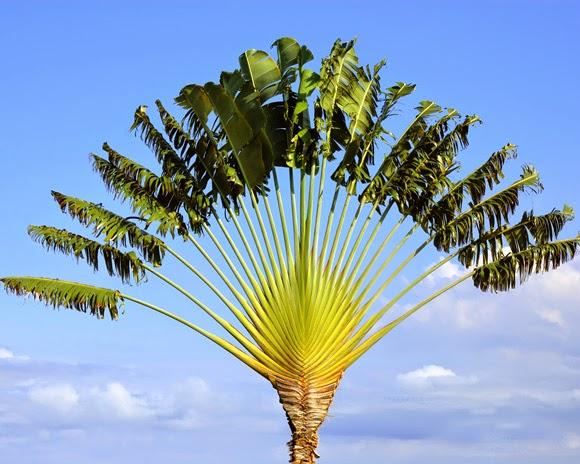 travellers-tree-ravenala-weird-plants