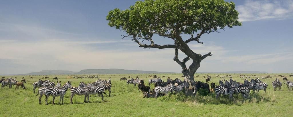 Herd of Zebras in Serengeti Africa
