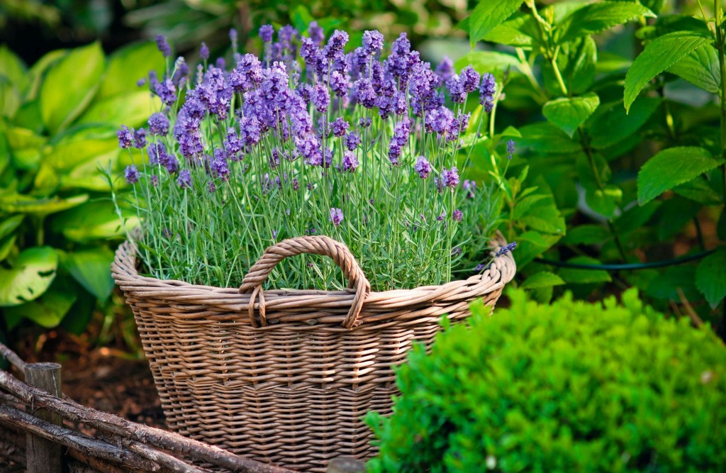 Lavender in the own garden pot plant