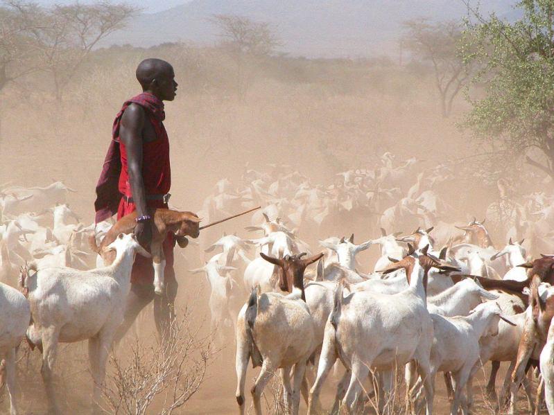 Maasai Cattle Kenya Young-Maasai-herder-sees-a-future-in-pastoralism