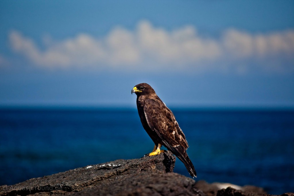 Galapagos Hawk Ocean background predator birds