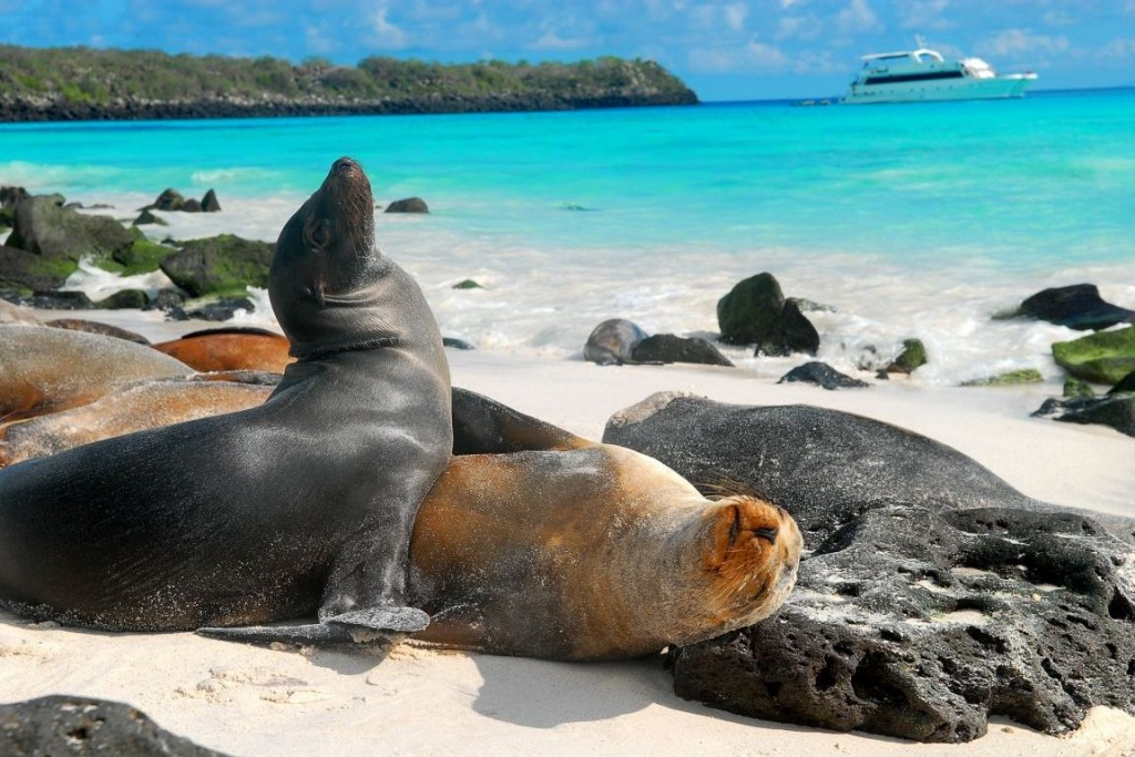 Galapagos sea lion lying on the beach