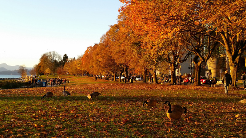 Canada,-Vancouver-autumn-time-park-geese-sunny-cool-fall-day